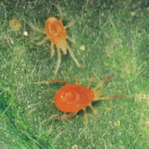 spidermite.jpg